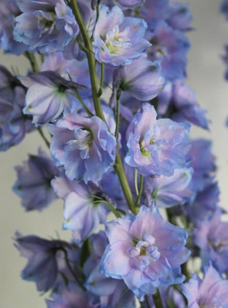 Delphinium Delphi's Blue Power