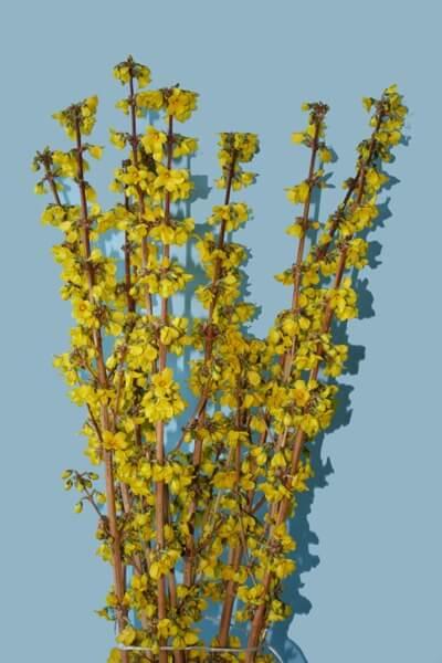 forsythia golden fantasy kolster bv magical plants flowers. Black Bedroom Furniture Sets. Home Design Ideas