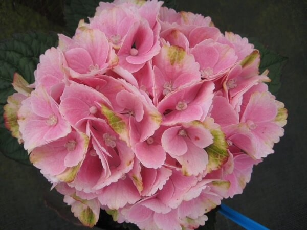 Hydrangea M Magical Pink Cloud Kolster Bv Magical Plants Flowers