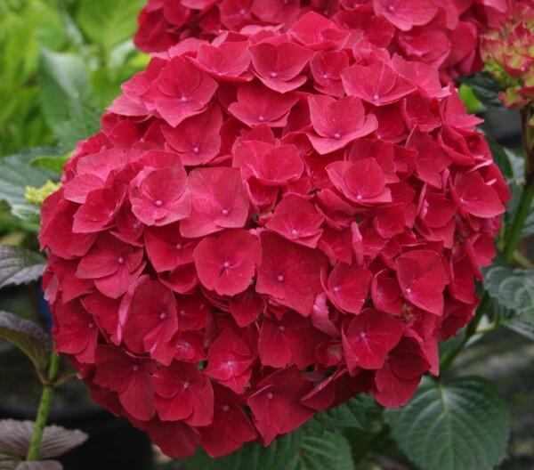 Hydrangea Kolster Bv Magical Plants Amp Flowers